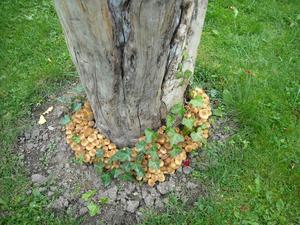 Plötsligt en dag fanns svamparna bara där runt äppelträdsstubben. Vackert med murgrönan som senare skall klättra upp för stammen.