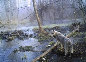 Ett antal vargar spårades förra vintern i länet.