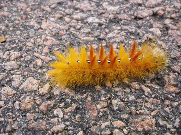 Denna lilla sak mötte jag under en promenad. Den kröp runt på asfalten, heltfestlig liten punkarlarv. Någon som vet vad det är för sort?