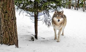 Rovdjur, och framför allt varg, väcker känslor i Sverige.