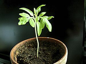 Det är hög tid att börja driva upp tomatplantorna nu för att få skörd i mitten av sommaren.