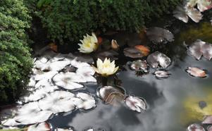 Flera dammar, med blommande lotusblommor, finns i trädgården utanför AndersOlsgården.