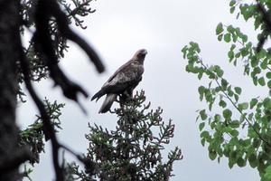 Kungsörnar och andra fågelarter riskerar att dödas av vindkraftverk, vilket fått miljöorganisationer i länet att protestera. Foto: Stig Norell