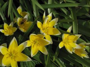 Redan är våra flitiga vänner igång med pollinering, här bland vildtulpaner