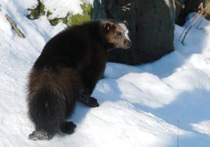 Järv är ett rovdjur som egentligen hör fjällvärlden till men som numera syns allt oftare i Gyllbergsområdet.