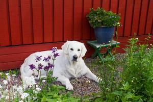 Snällaste vakthunden i stan? Golden retrievern Ice svalkade sig i skuggan. Augusto är ibland hundvakt till Ice, som tillhör hans dotter.