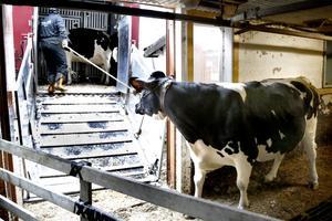 Ett fåtal av korna skickas vidare till en annan mjölkgård i Roslagen.