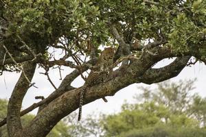 Leoparderna vilar oftast uppe i akacieträden under dagtid, och ger sig först ut på jakt när det skymmer.