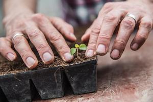När plantan fått en ny plats i det större tråget trycks jorden till så att den står stabilt i den nya omgivningen. Tråget rymmer totalt 64 plantor.