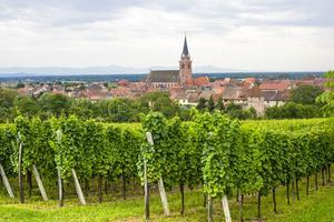 I Alsace kan man vandra bland vinodlingarna.