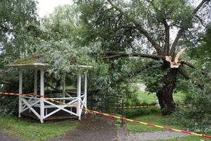 Blixt slog ner på jättestort pilträd på Djäkmeberget.