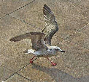 har fiskmåsen och använder både vingar och ben för att hinna först till godsakerna som människor slängt eller tappat.