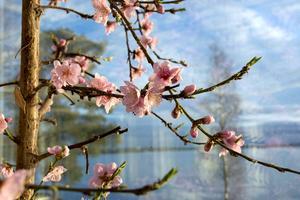 Nu måste varje blomma pollineras med hjälp av en pensel för att det ska bli frukt i höst.