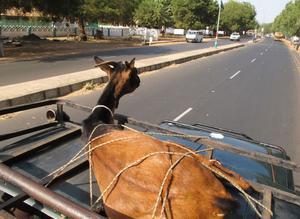 Geten inköpt och surrad: Geten inköpt och surrad på biltaket. Nu bär det av mot skolan.