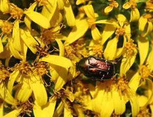 Våra praktfulla Gullstavar lockar många insekter, främst humlor. Här är det en Olivfärgad Guldbagge, som låter sig väl smaka av blommans läckerheter.