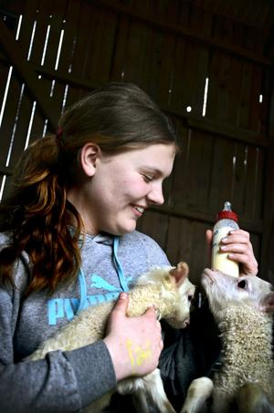 Hjälp att dia. Josefine flaskmatar ett lamm för att få igång instinkten att dia. Men det är fler som vill åt godsakerna.