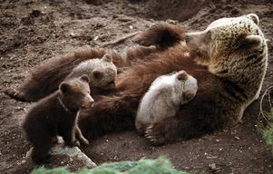 Detta är en genrebild. Björnarna på bilden har ingen koppling till innehållet i artikeln.
