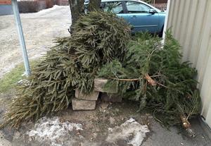 Många Sundsvallsbor är duktiga på att återvinna sin julgran, men inte alla.