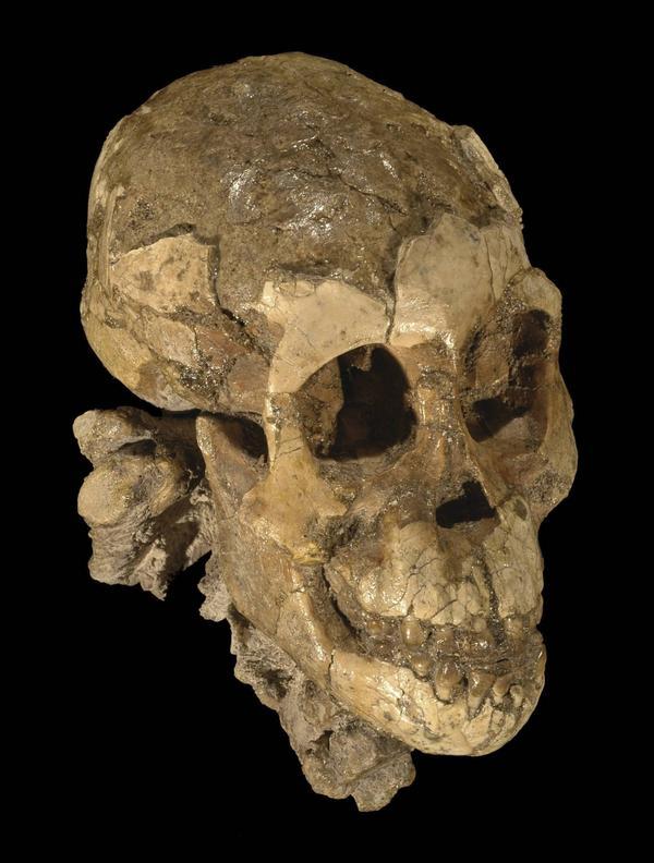 Lucy tillhörde arten Australopithecus afarensis som levde för 3,85 till 2,95 miljoner år sedan i Östafrika. Skallen på bilden är från en annan individ än Lucy. Foto: Zeresenay Alemseged/Nature