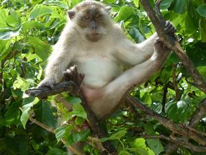 Här är en bild från Monkey beach i Thailand.Var ju bara tvungen att ta kort på den här coola apan som satt i trädet hela tiden och hade koll på alla.Läcker stil hade han med.