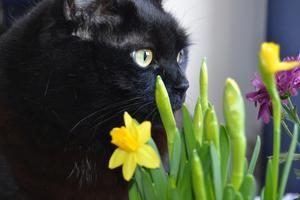 Min kattflicka gillar också att våren är i antågande. Påskliljorna var intressanta att nosa på.