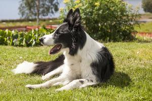 -När vi går på skogen och flyttar mellan hagar använder vi vår hund Rex. Det sparar en massa tid att ha hund. Vi köpte honom färdigutbildad. Han är en godkänd vallhund som gått många tävlingar. Och korna har respekt för honom.
