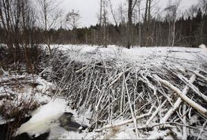 Dammen är cirka två meter hög och 15 meter bred. Färska spår i snön visar att dammen är bebodd av bävrar.