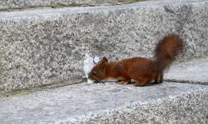 En liten hungrig ekorre på Skansen, som hittade lite mjukglass som den snodde åt sig!