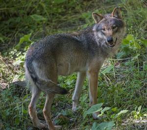 Vargen i Kolsva jagas av flera jägare men har ännu inte kunnat skjutas. Vargen på bilden är inte den som synts till i området.