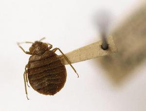 En vuxen vägglus är cirka fyra till fem millimeter lång. Den är oval och ljusgul eller ljusbrun. Efter att den sugit blod är den rödbrun.
