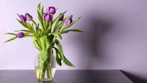 Lila tulpaner passar i de flesta miljöer på våren.