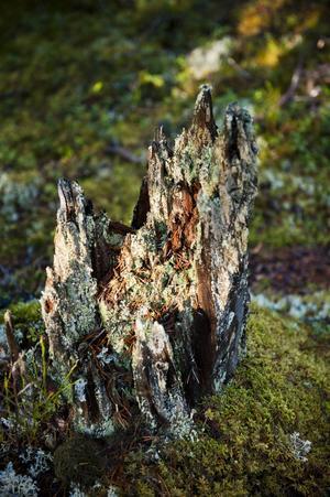 Spår av skogsbränder på stubbar och träd kan finnas kvar i århundraden efter bränderna.