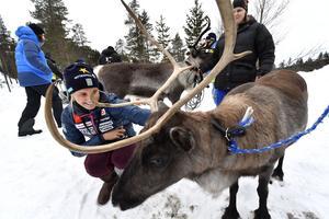 Emelie Wikström med renen Lovis.