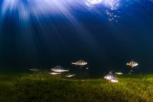 Med avancerad fotoutrustning, en påkostad undervattenskamera och rejäl ljusrigg, kan man få så här fina bilder på tjärnens abborrar.