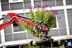 10 000 blommor kommer att planteras ut i Jansasparken. De växter som kan återplanteras, återplanteras.
