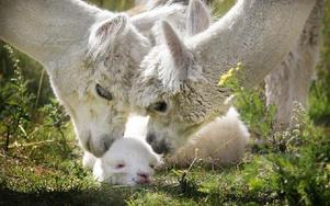 De andra alpackastona tycker att det är kul när det kommer ett nytt alpackaföl. De är där och tittar och kelar lite med nykomlingen Hilding. Foto: Staffan Björklund