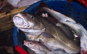 Östersjötorsk från ett dokumenterat uthålligt och miljömärkt fiske kommer snart ut i butikerna. Bra förvaltning med beståndsanpassat fiske har gett snabbt resultat på torskbeståndet i Östersjön.