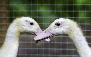 Löpankorna Gull-Anna och Lillemor
