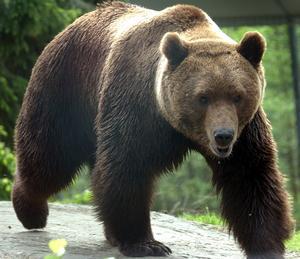 Jakt väntar. Ska två tredjedelar av björnarna skjutas.?Foto: Scanpix/TT Sverige