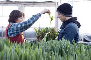 Yngste sonen Joel Hildén, nyligen hemkommen från tulpanjobb i Holland, hjälper nu till med tulpanerna hemma.