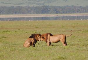 Två vackra exemplar på djurens konung. Ibland lyckas man fånga oförglömliga scener...