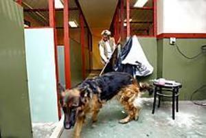 Idag får schäfern Molly åtta nya kamrater när matte Marianne Westin öppnar hunddagis på gården i Skutskär. Foto: GUN WIGH