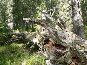 I det Hagmyran naturreservat finns det gott om gammal död ved.