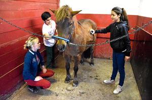 Borstar rent. Sherko och Shahen Piroti hjälper Josephine Honk med att borsta Skrållan innan ridning.