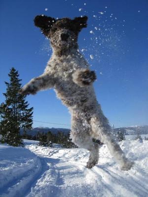 Stefan Åhman har tagit en härlig bild på sin hund som fångade vår uppmärksamhet direkt. Bilden hade kunnat vara skarpare, men förmedlar oförställd vinterglädje.