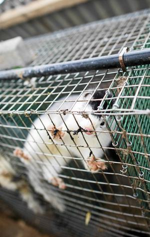 Det är dags för Sveriges politiker att ta minkarnas situation på allvar.