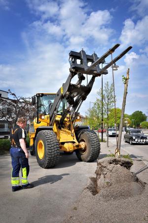 Under natten till i går hade någon eller några ägnat sig åt att förstöra träden längs järnvägsesplanaden i Tierp. Magnus Nordantjäl och Christer Larsson på kommunens gata/parkförvaltning fick rycka ut med en traktor och gräva upp de kapade träden.