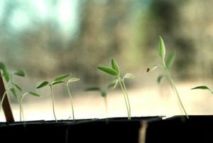 Så de första fröerna redan nu. Vissa plantor tar längre tid på sig att gro och mår dessutom bra av att ha blivit lite större och kraftigare innan du planterar ut dem i trädgården.