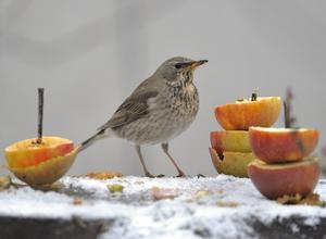 Äpplen förser trastar och andra småfåglarna med vätska.