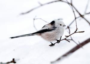 Stjärtmes   Ena av våra mest rastlösa vintergäster som plötsligt dyker upp och gärna äter på talgbollar, ibland kan man se mellan fem-sex individer klängande på bollarna, men de försvinner lika fort som de kommer. Stjärtmesen är lätt att känna igen med sin svart-vita dräkt och långa stjärt